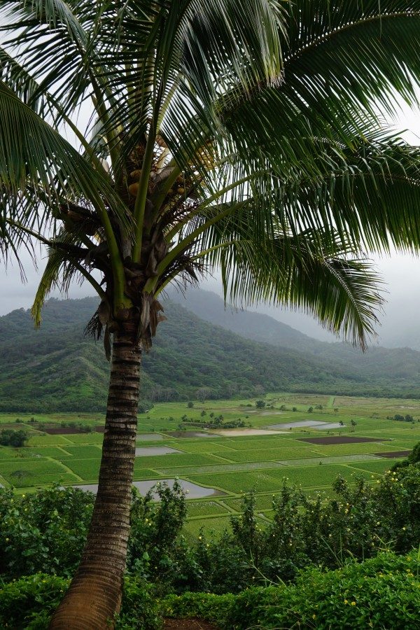 Travel Guide of Princeville, Kauai, Hawaii - Shown here: Taro Overlook
