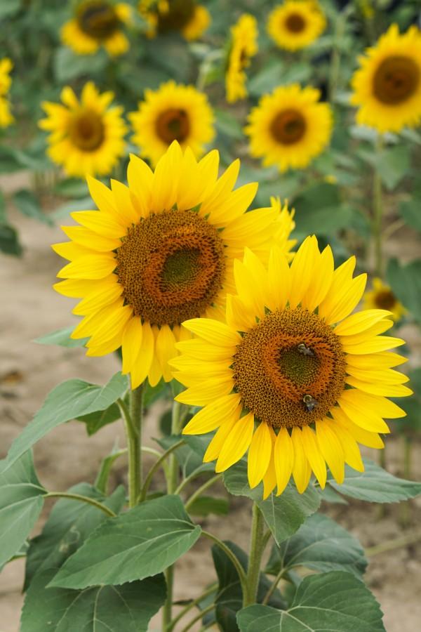 Fall Sunflowers & Loft Dress